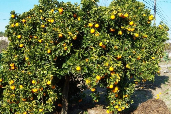 Sweet Oranges: The Biogeography of Citrus sinensis